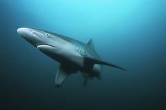 Nuoto dello squalo tigre del Sudafrica dell'Oceano Indiano del banco di Aliwal (cuvieri del Galeocerdo) nell'oceano Fotografia Stock Libera da Diritti