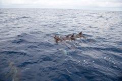 Nuoto di Dolpins Fotografia Stock