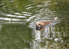Nuoto di Fox rosso Fotografia Stock