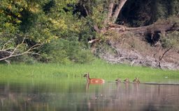 Nuoto di Hinds nel fiume Fotografia Stock Libera da Diritti