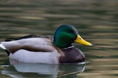 Nuoto di Mallard nello stagno locale immagine stock