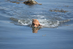Nuoto di Nova Scotia Duck Tolling Retriever con una palla Fotografia Stock Libera da Diritti