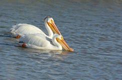 Nuoto di paia del pellicano bianco in un fiume Fotografia Stock
