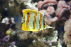 Nuoto di pesce angelo di Copperband attraverso una barriera corallina Immagine Stock Libera da Diritti