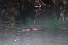 Nuoto di Platypus intorno Immagini Stock Libere da Diritti