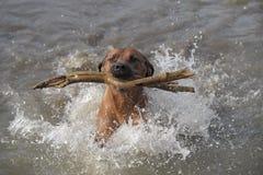 Nuoto di Rhodesian Ridgeback Immagini Stock Libere da Diritti
