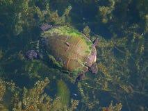 Nuoto dipinto della tartaruga (picta del Chrysemys) Immagine Stock