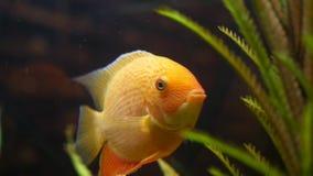 Nuoto dorato del pesce in carro armato di vetro con la pianta acquatica verde Pagina Fine per il fronte e la coda stupefacenti de video d archivio