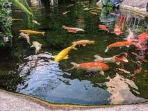 Nuoto dorato giapponese della carpa nell'acqua thailand fotografia stock