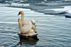 Nuoto e allontanarsi Immagine Stock