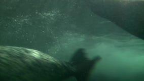 Nuoto e gioco delle guarnizioni in acquario di Shanghai video d archivio