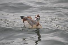 Nuoto egiziano dell'oca Fotografia Stock Libera da Diritti