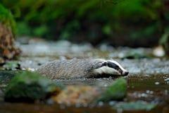 Nuoto europeo del tasso nell'insenatura della foresta Mammifero sveglio in corrente scura Comportamento animale nella natura, Ger fotografia stock