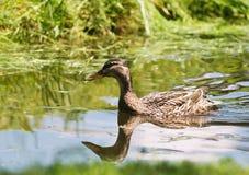 Nuoto femminile dell'anatra selvatica su un fiume Fotografia Stock