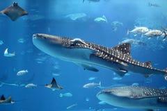 Nuoto gigante dello squalo di balena in uno sciame dei pesci Immagini Stock Libere da Diritti