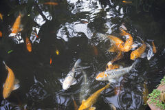 Nuoto Koi Fish Fotografia Stock