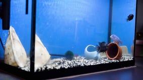 Nuoto malawiano blu e nero-a strisce di cichlasoma delle cichlidae in acqua blu dell'acquario acquari stock footage