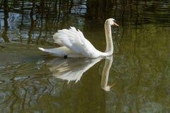 Nuoto maschio del cigno muto Fotografia Stock Libera da Diritti