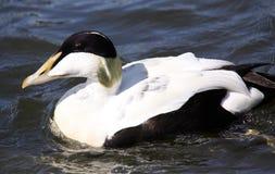 Nuoto maschio dell'anatra di edredone nel mare Fotografia Stock Libera da Diritti