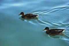 Nuoto maschio dell'anatra di Mallard in un'acqua blu bella fotografia stock libera da diritti