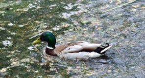 Nuoto maschio dell'anatra selvatica nell'acqua Fotografie Stock