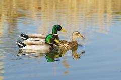 Nuoto maschio di due Drake sul lago per un lat femminile dell'anatra di Mallard dell'anatra I platyrhynchos di anas è un uccello  Fotografie Stock