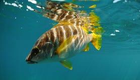 Nuoto matrice dei pesci dello snapper nell'oceano Immagine Stock