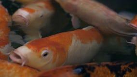 Nuoto Multicoloured grazioso in un'acqua, pesce variopinto del pesce di koi di koi nello stagno archivi video