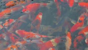 Nuoto operato variopinto del pesce delle carpe nello stagno video d archivio