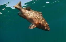 Nuoto rosso dei pesci dell'epinefolo nell'oceano Immagine Stock Libera da Diritti