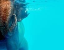 Nuoto selvaggio dell'elefante nell'acqua Fotografia Stock