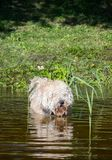 Nuoto simile a pelliccia del cane nel lago con le canne al giorno di estate suuny Fotografia Stock