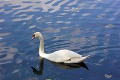 Nuoto smorzato del cigno in un canale navigabile di Londra Fotografie Stock