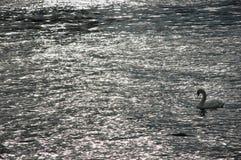 Nuoto solo del cigno in un lago Fotografia Stock Libera da Diritti