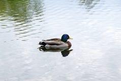 Nuoto solo del maschio nel lago fotografia stock
