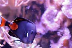 Nuoto solo del pesce nello zoo in Germania immagine stock