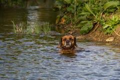 Nuoto sveglio del cane di animale domestico nel fiume Immagine Stock Libera da Diritti