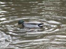 Nuoto sveglio dell'anatra ed acqua potabile in uno stagno dell'anatra Fotografia Stock Libera da Diritti