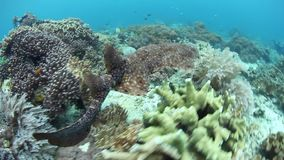 Nuoto Tasseled dello squalo di Wobbegong in Raja Ampat archivi video