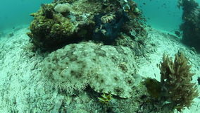Nuoto Tasseled di Wobbegong video d archivio