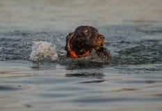 Nuoto tedesco del puntatore dai capelli corti Immagini Stock
