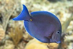 Nuoto tropicale blu del pesce subacqueo fotografia stock