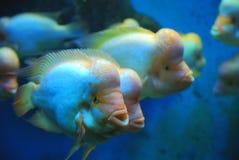 Nuoto tropicale dei pesci nel mare Immagine Stock