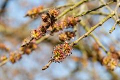 Nuova crescita su un albero in primavera Immagini Stock