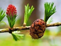 Nuova crescita sull'albero di abete Fotografie Stock