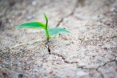 Nuova crescita in terra incrinata Fotografia Stock