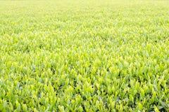 Nuova foglia di tè verde Immagini Stock Libere da Diritti