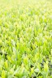 Nuova foglia di tè verde Fotografia Stock