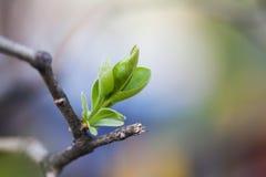 Nuova foglia di verde di concetto di vita e ramo di albero rotto concetto della natura di tempo di molla fuoco molle, macro vista Fotografia Stock