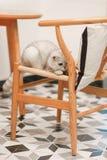 nuova foto del gatto 2019, gatto bianco grigio sveglio con i grandi occhi fotografia stock libera da diritti
